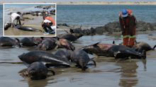 Mystery as more than 80 dead dolphins found washed up on beach