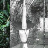 7 things to know about the blooming corpse flower