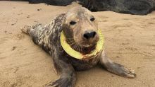 Adorable seal who who had a Frisbee stuck around her neck for six months finally returned to wild
