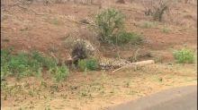 Porcupine fends off leopard in Kruger National Park