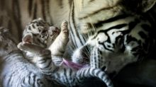 Quatre bébés tigres blancs sauvés d'un trafic en Tunisie
