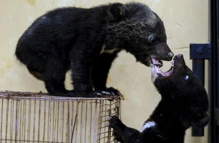 Three-month-old baby bears play at a wild animal park in Kunming, Yunnan province, China, April 27, 2015. REUTERS/Wong Campion/File Photo
