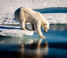 The polar bear in this video is dying from starvation. Fortunately, most aren't...yet
