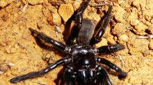 Australie : la doyenne des araignées meurt à 43 ans