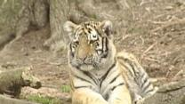 Pittsburgh's Tiger Cubs Growing Fast, Getting Playful Outside