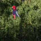 Morocco mulling legalising medicinal cannabis
