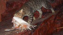 La razón por la que Australia ha decidido sacrificar a millones de gatos salvajes