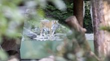 Tiger tötet Tierpflegerin im Zoo Zürich
