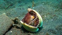 Los pulpos, calamares y sepias, son una rama evolutiva aparte