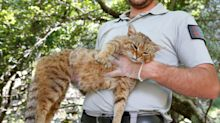 Cat-fox officially recognised as a new species