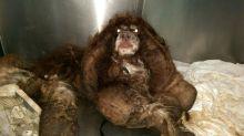Cachorro abandonado tem mais de 2 quilos de pelos removidos