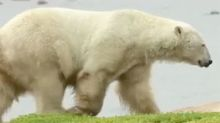 Polar bears spotted in Scotland as animals flee melting Arctic ice cap