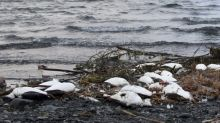 Huge 'blob' of warm water killed one million seabirds in unprecedented mass die-off, scientists say