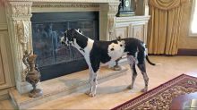 Great Dane sees his reflection for the first time