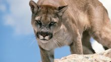 Cougar Kills Mountain Biker In Washington State, Injures Companion