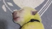 Family dog gives birth to lime green puppy named Hulk
