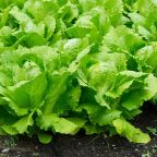 E. Coli Outbreak 2018: Lettuce Infects 53 People, 31 People Hospitalized In 16 States