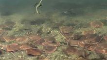 """Cientos de mantas rayas se acercan al litoral de Miami """"en busca de oxígeno"""""""