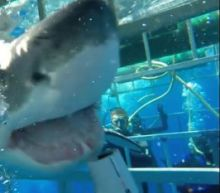 Jumping the Shark: The Terrifying Moment a Great White Entered Underwater Cage