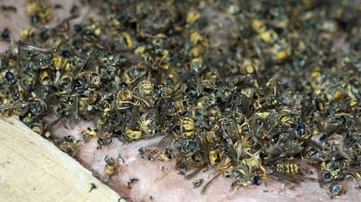 Colossal wasps' nest found in attic is the stuff of nightmares