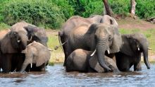 Elephants are dying by the hundreds in Africa, experts say. Nobody knows why