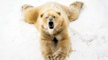 Oldest polar bear in UK dies aged 22