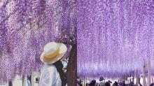 5月去日本吧!8個你一定要去打卡的「紫藤瀑布」!