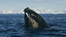 What does Antarctica look like to a humpback whale? Now we know, and it's incredible
