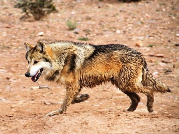 Mexican Wolf Population Now Tops 100 in US