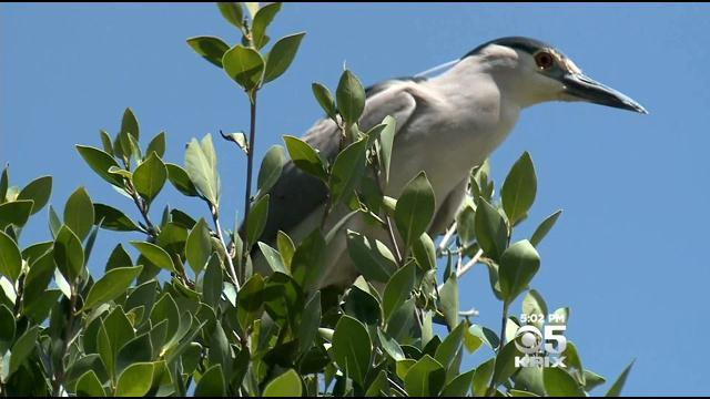 Oakland Neighbors Cry Fowl Over Nests Removed During Tree Trimming