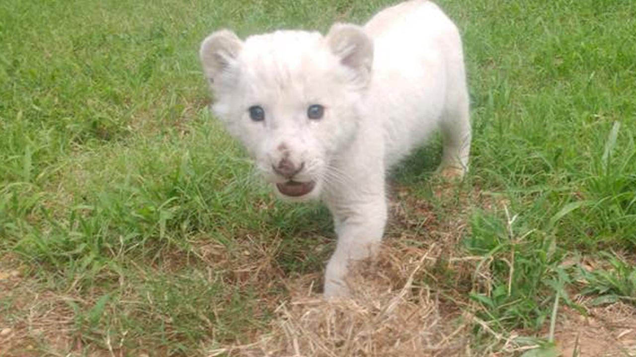 Adorable Rare White Lion Cub Debuts at Texas Animal Sanctuary