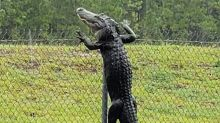 Alligators in Florida can now climb fences. Yes, you read that right.