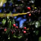 Coffee importers stockpiling on fears over coronavirus lockdowns