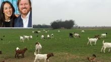 Chip and Joanna Gaines Fed Their Massive Christmas Tree to the Family's Goats — Here's Why