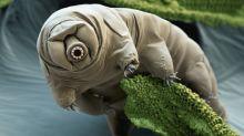 """Cuál es el punto débil de los tardígrados, las criaturas """"más resistentes"""" del planeta"""