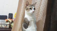 El gato con dos patas que inspira a muchos humanos