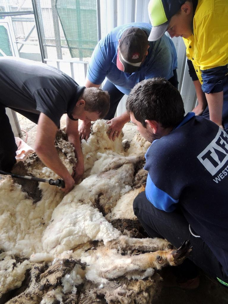 A woolly sheep named Chris gets sheared on the outskirts of Canberra on September 3, 2015, a day after Australian animal welfare officers put out an urgent appeal for shearers to save the animal (AFP Photo/)