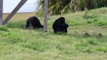 "New York judge asked to declare chimpanzees ""persons"""