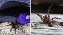 Heavy rains forcing killer funnel web spiders into homes