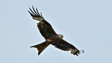 Red kites thriving in England 30 years after reintroduction