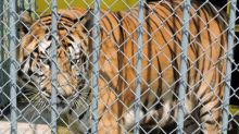 Tiger Kept At Truck Stop For 17 Years Dies, But The Legal Battle Isn't Over