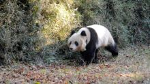 Leopards, wolves vanishing from panda conservation areas: study