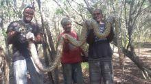 Nouvelle-Calédonie : un python de 4 mètres de long découvert
