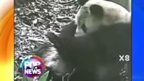 Panda Gives Birth to Twins in China