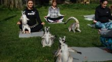 'Lemoga': Lake District hotel offers yoga with lemurs as partners