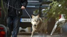 Lobo suelto causa pánico en Gran Bretaña