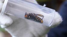 Destruyen nido de avispones asesinos en estado de Washington