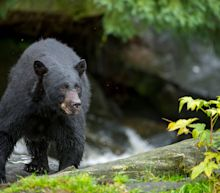 A group of bears charged a hiker in Alaska while she was lost. She was later found alive, but injured.