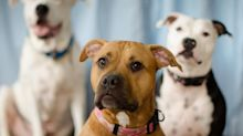 Delta pit bull ban hits roadblock, DOT shortens leash
