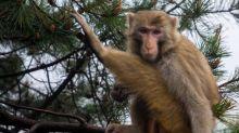 Entre le vacarme de la ville et le tumulte de la jungle, les singes ont choisi